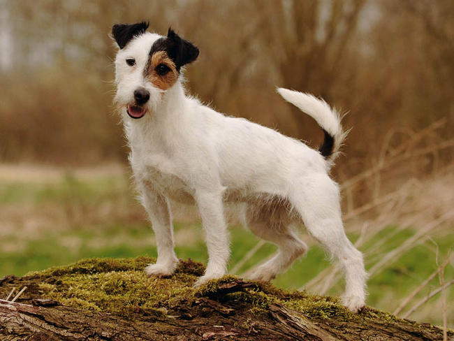 Jack Donner Wallpapers jack russell terrier